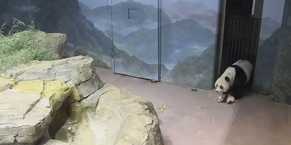 Panda mom and cub explore their den