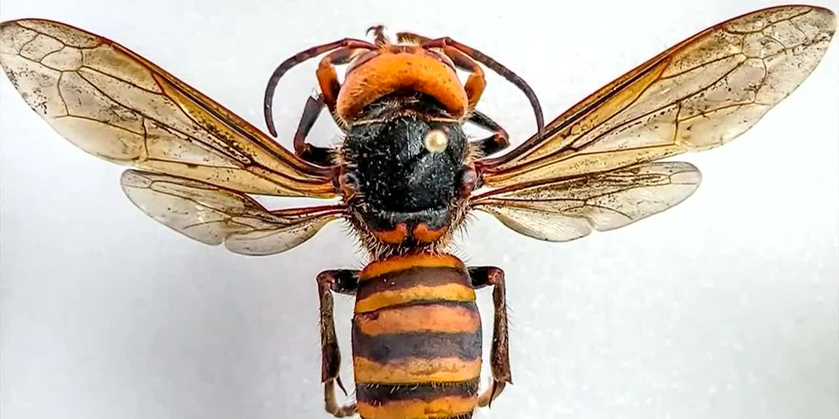 Entomologists in Wash. hope to capture 'murder hornets,' track them back to colony