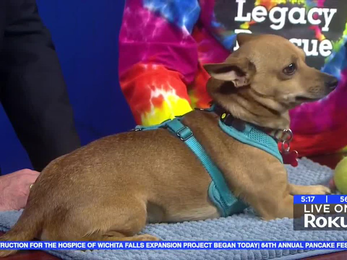 Bass the Chihuahua is looking for a fur-ever home