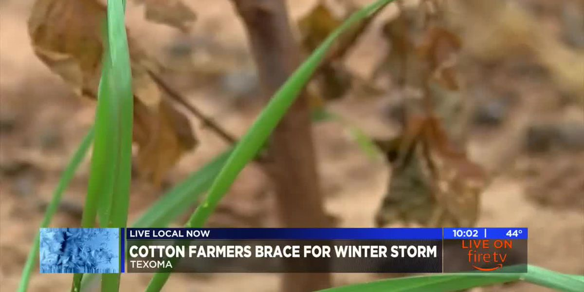 Texoma cotton farmers brace for winter storm