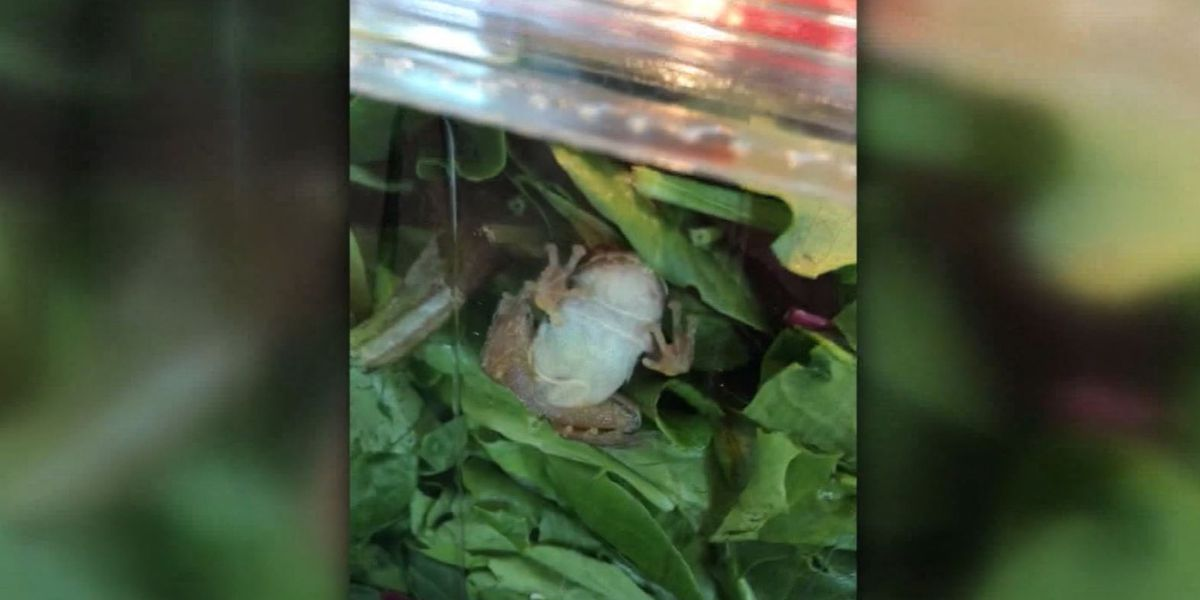 Family finds live frog in carton of organic salad greens