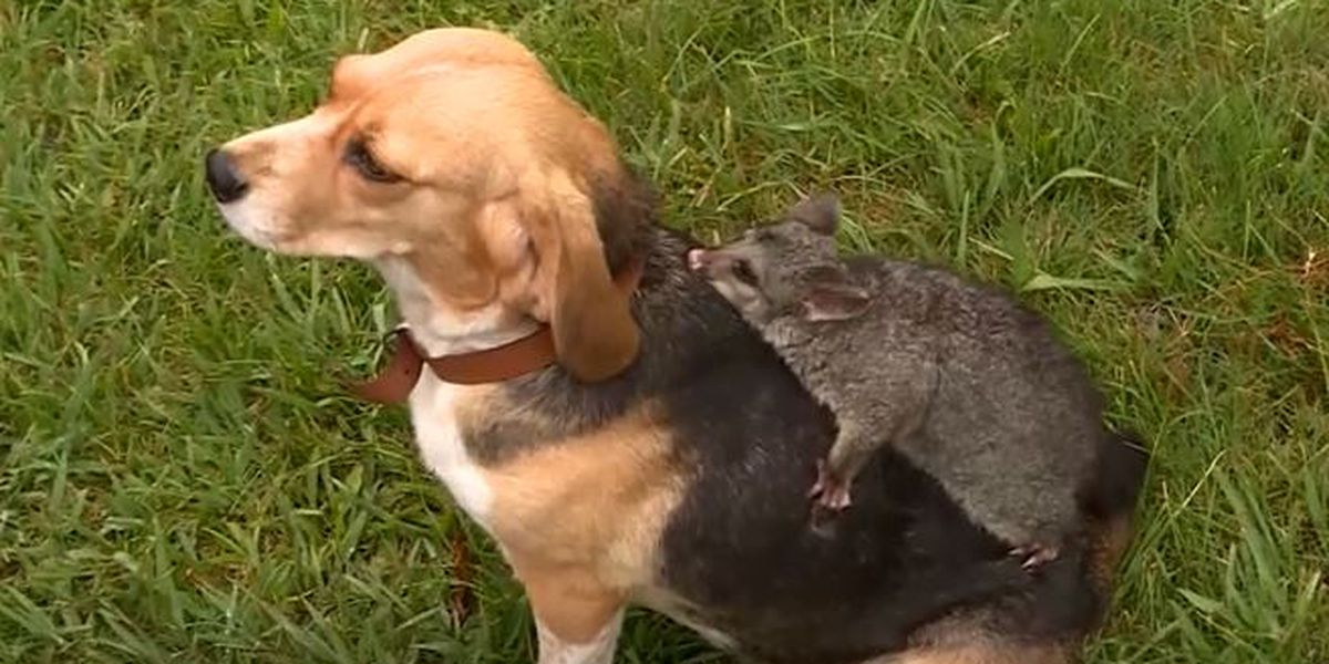 Dog who lost litter of puppies adopts abandoned baby possum