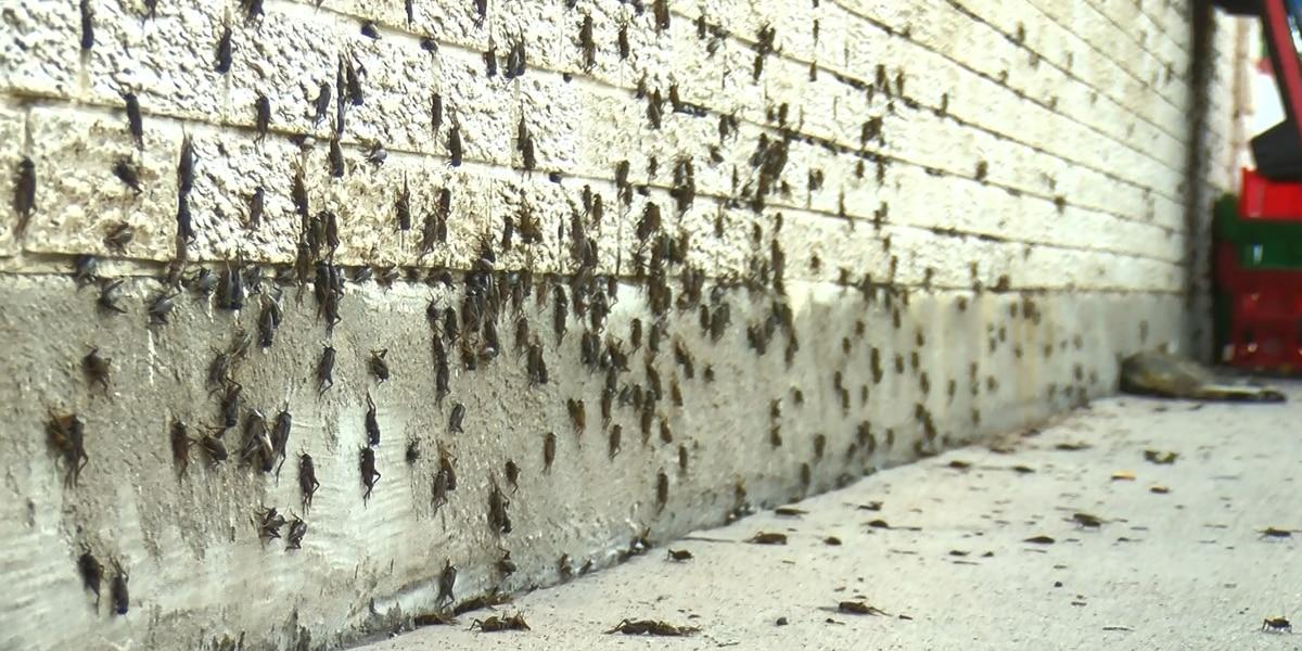 Cricket invasion hits Texoma