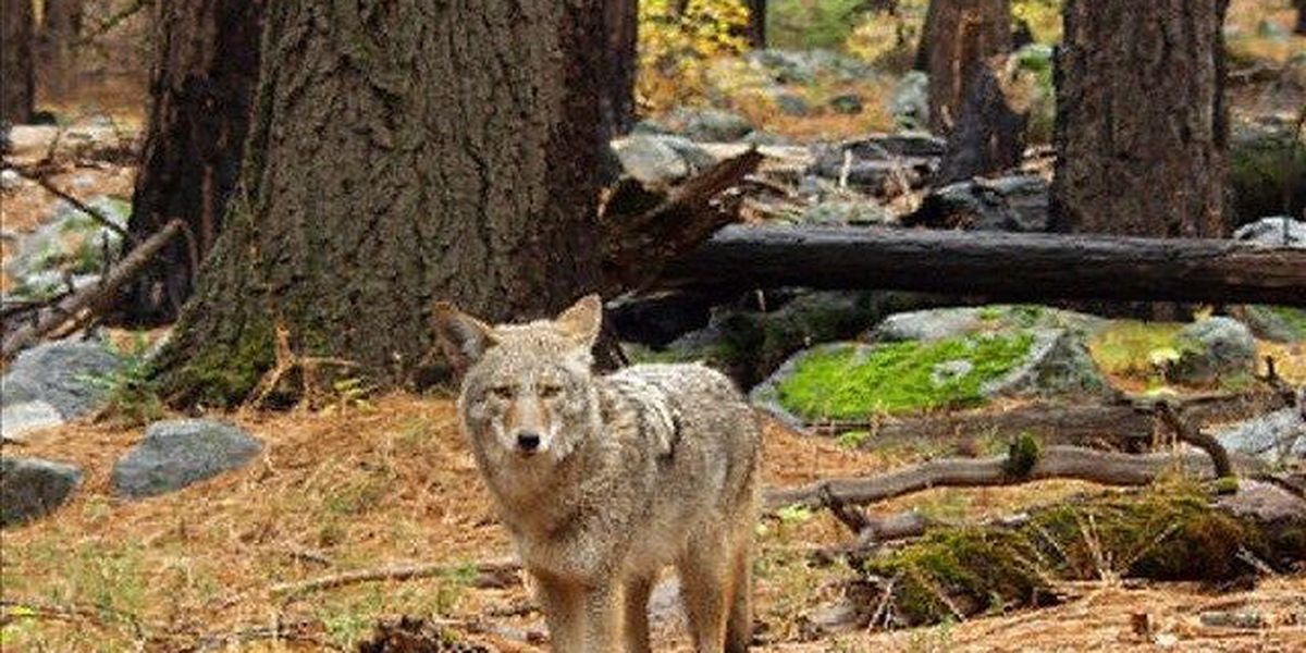Increase Coyote Sightings Across Wichita Falls