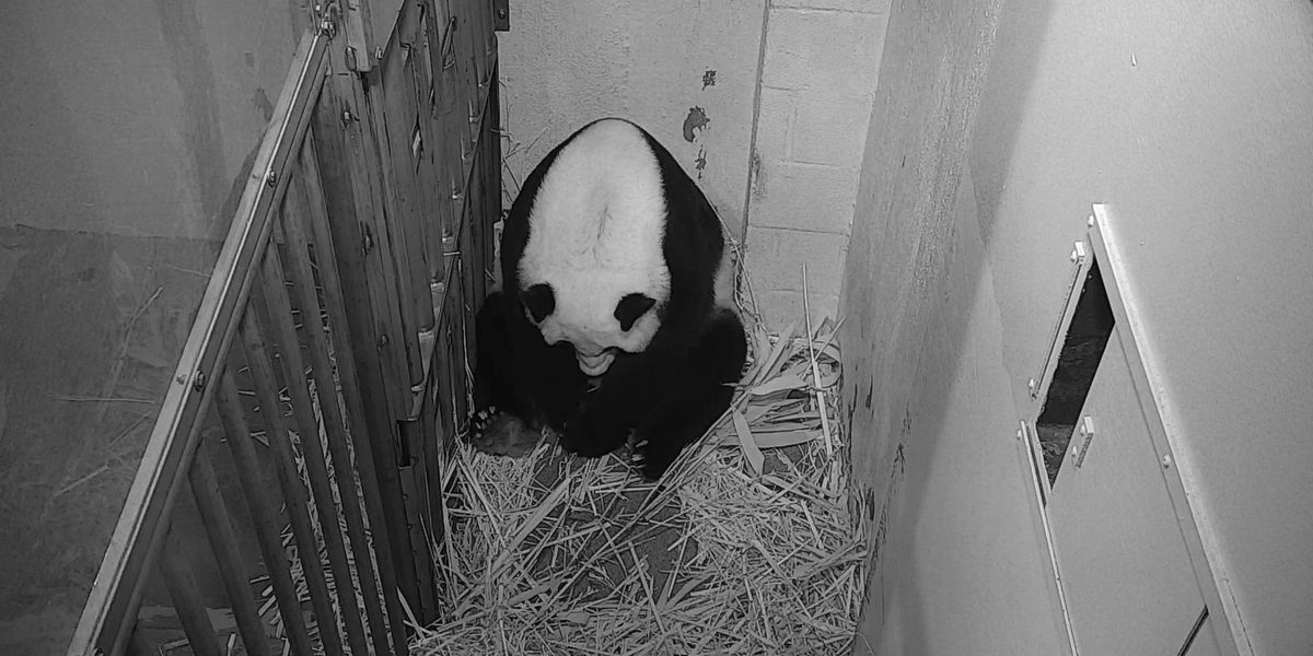 Smithsonian National Zoo's baby panda is one month old
