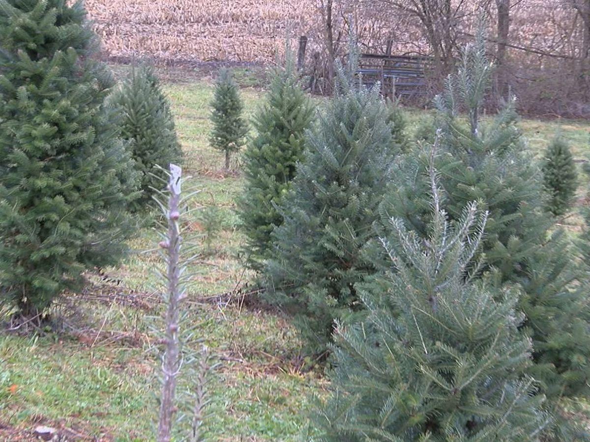 Tree shortage hurts tree farms