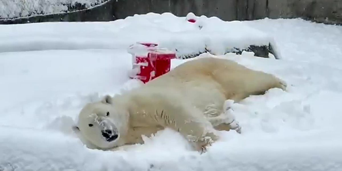 WATCH: 'Best snow day ever!' for Blizzard the polar bear
