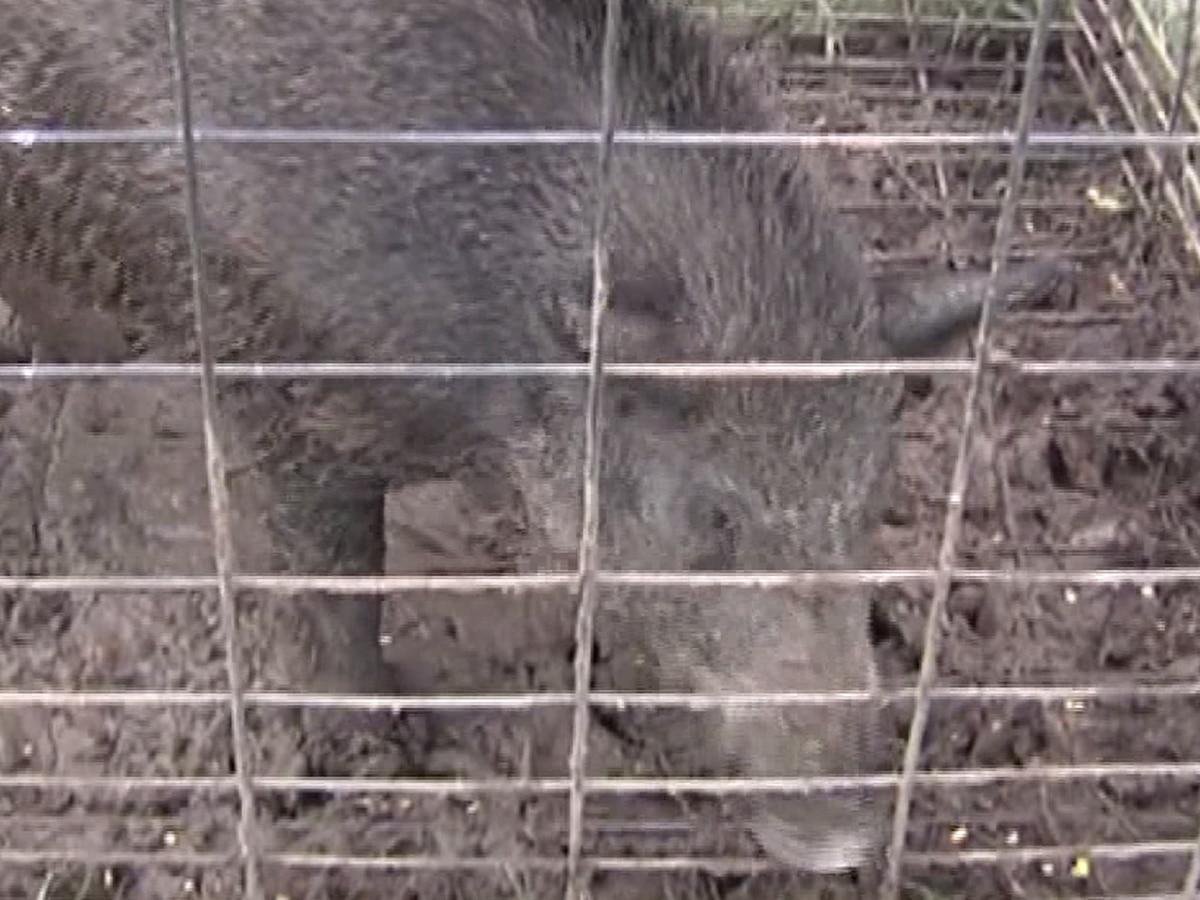 New law allows people to hunt wild hogs without a license