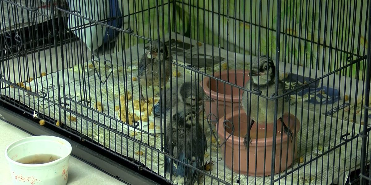 Wild Bird Rescue in Wichita Falls in need of volunteers