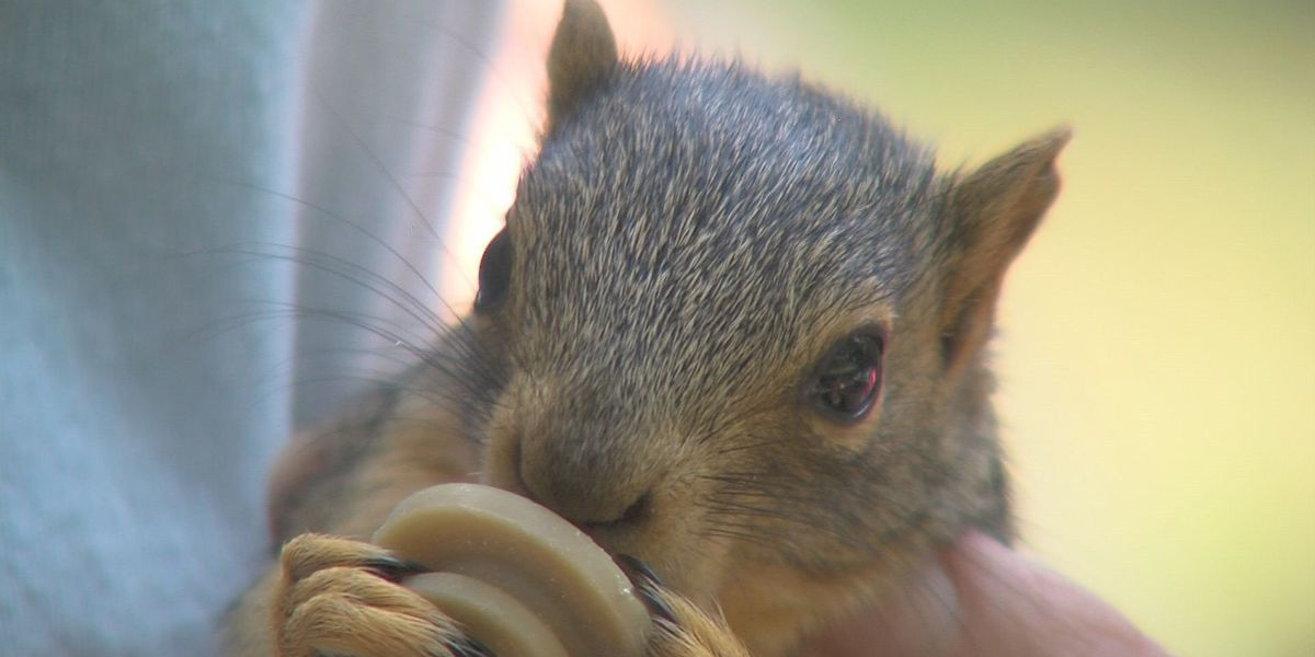 Squirrels rescued from Harvey sent to Wichita Falls