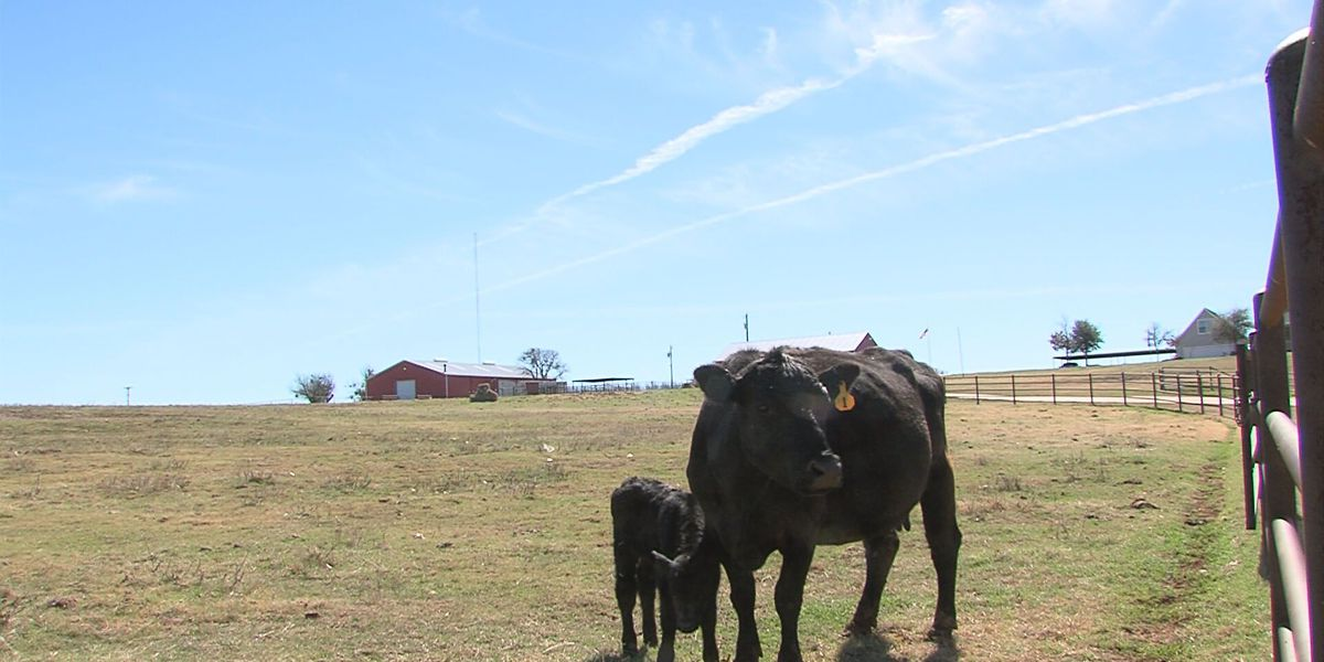Ranchers scramble to secure feed for 10,000 cattle, horses