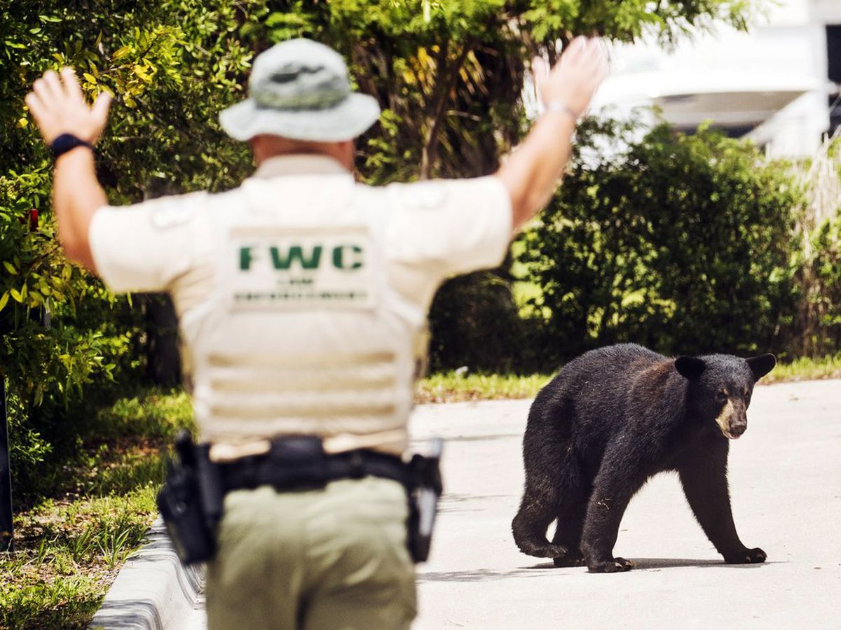 Glazed or jelly? Doughnuts lure city-roaming bear into trap