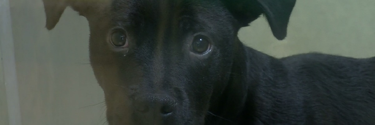 Animal shelters, rescues become overcrowded during summer months