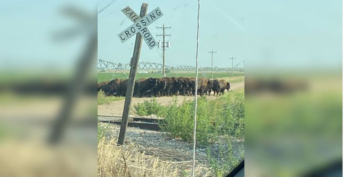 More than 100 bison escape, roam free in Nebraska