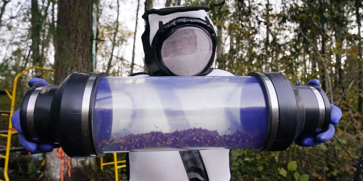 Scientists remove 98 'murder hornets' in Washington state