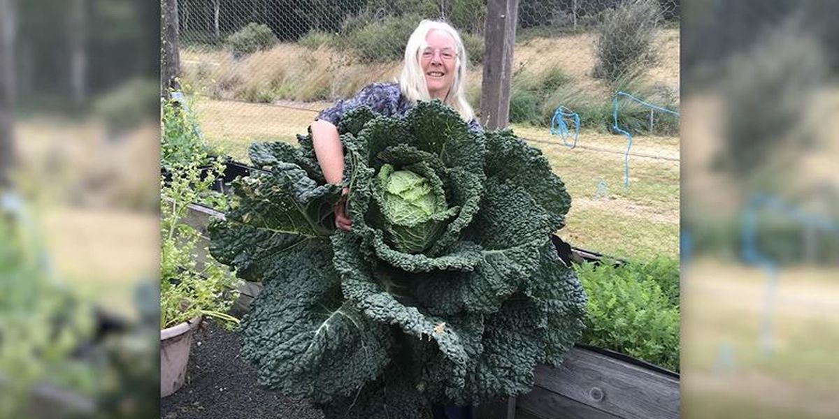 A couple grew a cabbage as big as a person